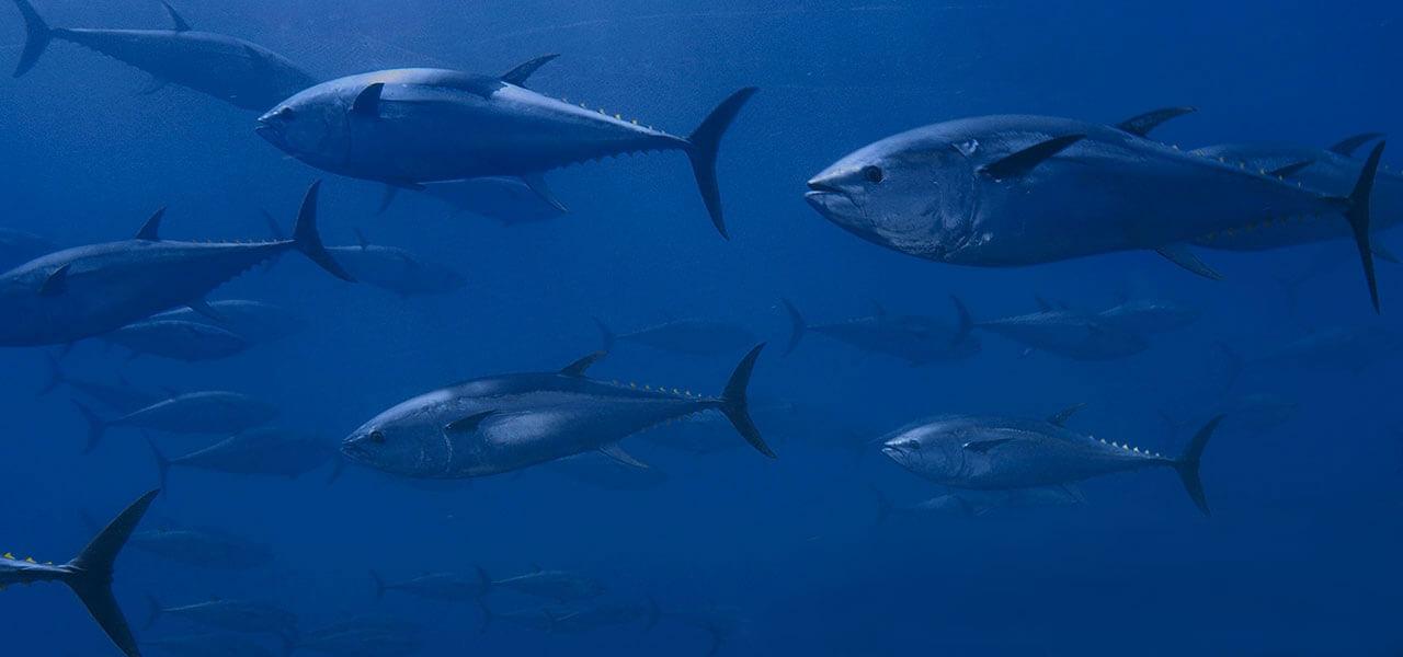 Bluefin Tuna Slide Brushed