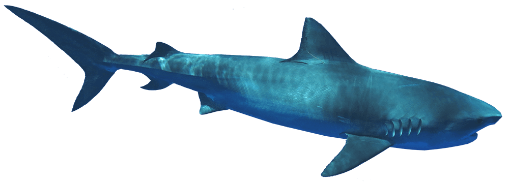 Slider Tiger Shark